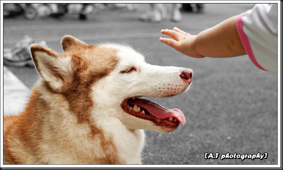 Husky and a kid's hand