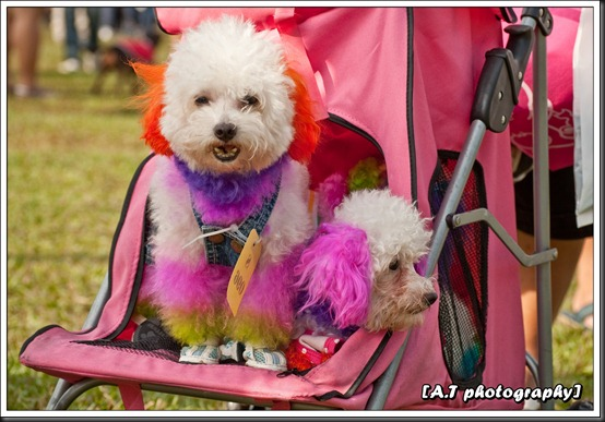 Poodle in a stroller