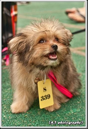 Shih Tzu puppy 2